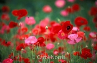 wild-poppies-pink-red-ontario-flowers.jpg