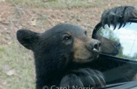 Black-bear-car-baby.jpg