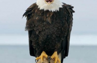 Bird-American-bald-eagle-watchman-male-adult-driftwood-Alaska.jpg