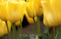 yellow-tulips-Ottawa-flowers.jpg