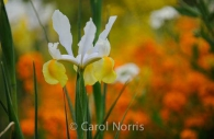 bright-beautiful-iris-monet-garden-paris.jpg