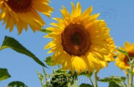 Provence-France-sunflower.jpg
