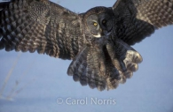 great-grey-owl-landing-snow-ontario-phantom-of-the-north-bird.jpg