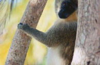 Green-monkey-Barbados.jpg