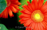 orange-flower-gerberas.jpg