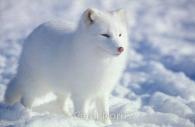 Arctic-fox-Arctic-snow.jpg