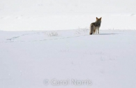 Coyote-tracks-snow-Yellowstone.jpg