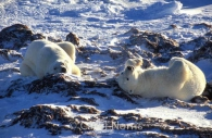 Polar-bears-chilling-snow.jpg