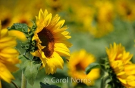 Sunflowers-bee-Provence-flowers.jpg