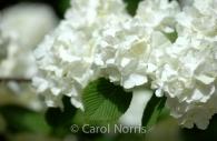Snowball-hydrangea-white-flower.jpg