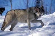 Gray wolf-Ontario-Snow.jpg