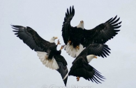 American-bald-eagle-mature-adults-fighting-three-trio-trinity-fish-birds.jpg