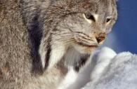 Canadian-Lynx-snow-2.jpg