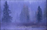 Canada-Ontario-Algonquin-Park-trees-mist-purple.jpg
