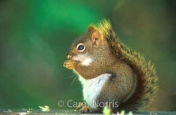 Red-squirrel-prayer-thanksgiving.jpg