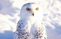 Bird-snowy-owl-ground-snow-Ontario-Canada.jpg
