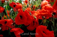 wild-red-poppies-England-flowers.jpg