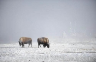 America-buffalo-bison-snow-hawfrost-winter-montana-yellowstone-national-park-hot-springs.jpg